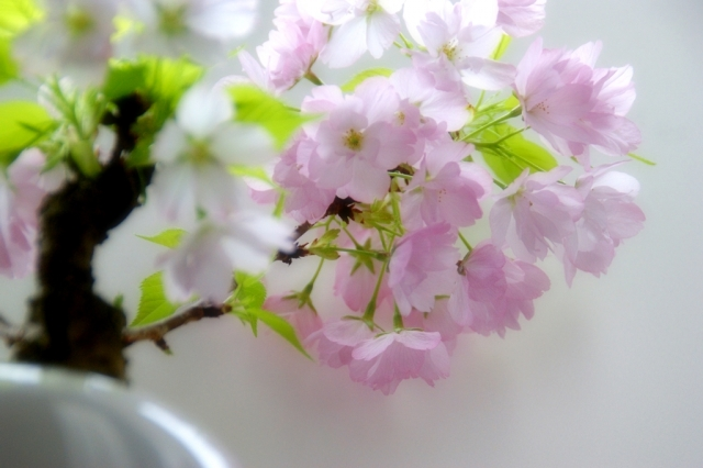 1Day:手のひら盆栽 入門講座