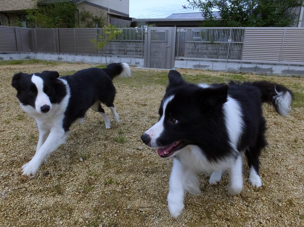 単発:英国流愛犬しつけ講座・ドッグランで遊ぶ犬のしぐさから愛犬の性格や気持ちを学びましょう